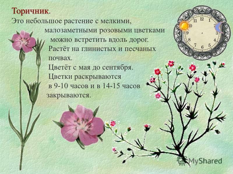 Торичник Торичник. Это небольшое растение с мелкими, малозаметными розовыми цветками можно встретить вдоль дорог. Растёт на глинистых и песчаных почвах. Цветёт с мая до сентября. Цветки раскрываются в 9-10 часов и в 14-15 часов закрываются.