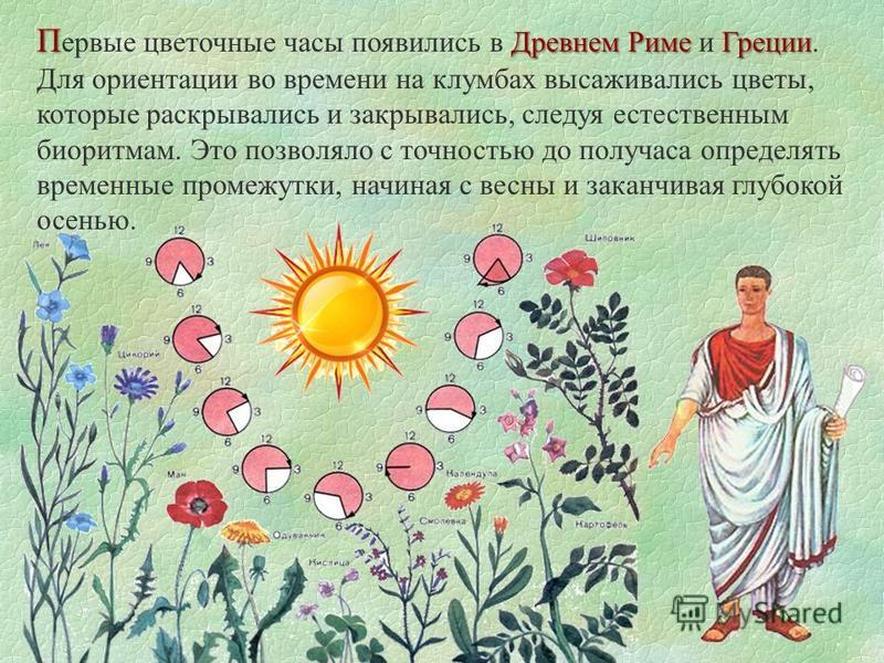 П Древнем Риме Греции П ервые цветочные часы появились в Древнем Риме и Греции. Для ориентации во времени на клумбах высаживались цветы, которые раскрывались и закрывались, следуя естественным биоритмам. Это позволяло с точностью до получаса определя