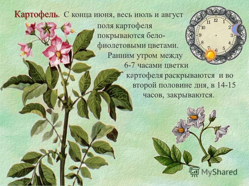 Картофель Картофель. С конца июня, весь июль и август поля картофеля покрываются бело- фиолетовыми цветами. Ранним утром между 6-7 часами цветки картофеля раскрываются и во второй половине дня, в 14-15 часов, закрываются.