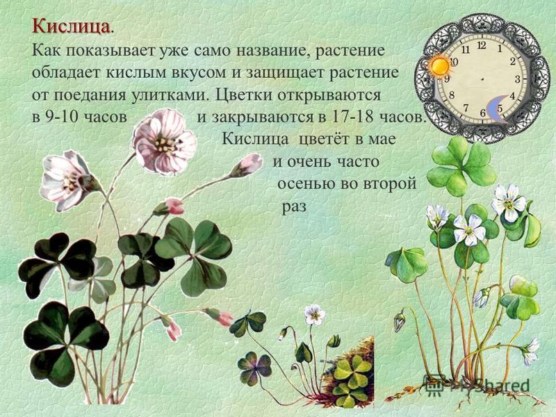 Кислица Кислица. Как показывает уже само название, растение обладает кислым вкусом и защищает растение от поедания улитками. Цветки открываются в 9-10 часов и закрываются в 17-18 часов. Кислица цветёт в мае и очень часто осенью во второй раз