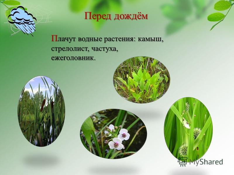 Перед дождём П лачут водные растения: камыш, стрелолист, частуха, ежеголовник.