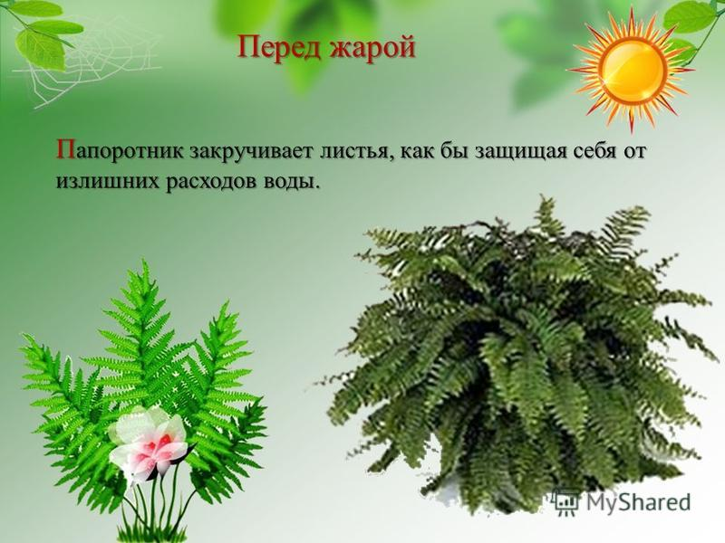 Перед жарой П апоротник закручивает листья, как бы защищая себя от излишних расходов воды.