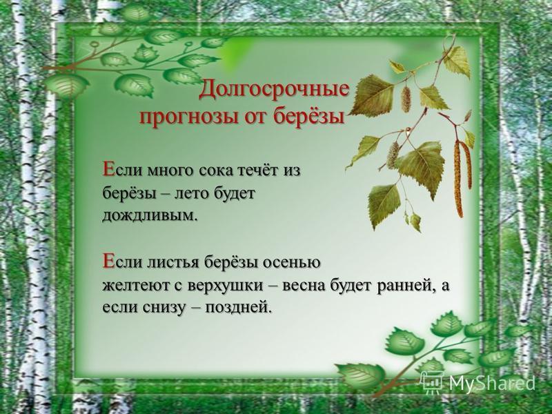 Е сли много сока течёт из берёзы – лето будет дождливым. Е сли листья берёзы осенью желтеют с верхушки – весна будет ранней, а если снизу – поздней. Долгосрочные прогнозы от берёзы