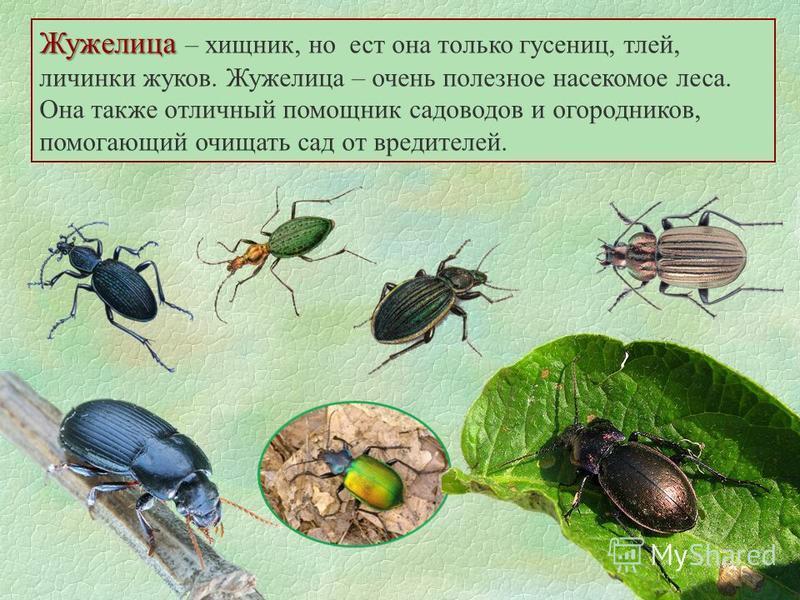 Жужелица Жужелица – хищник, но ест она только гусениц, тлей, личинки жуков. Жужелица – очень полезное насекомое леса. Она также отличный помощник садоводов и огородников, помогающий очищать сад от вредителей.