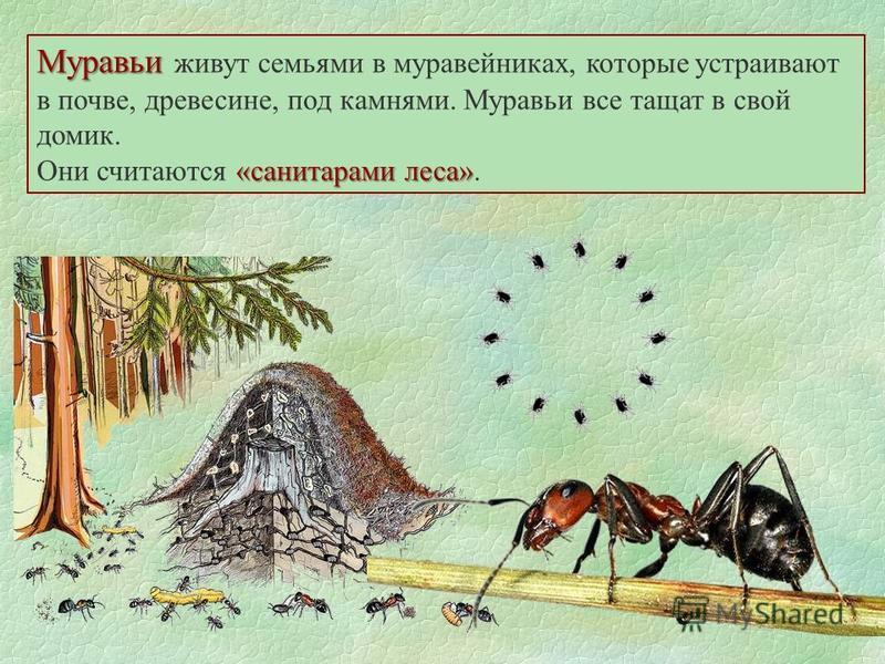 Муравьи Муравьи живут семьями в муравейниках, которые устраивают в почве, древесине, под камнями. Муравьи все тащат в свой домик. «санитарами леса» Они считаются «санитарами леса».