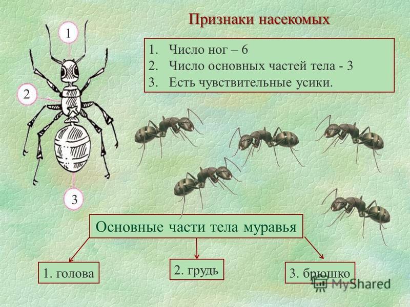 Признаки насекомых 1. Число ног – 6 2. Число основных частей тела - 3 3. Есть чувствительные усики. 1 2 3 Основные части тела муравья 1. голова 2. грудь 3. брюшко