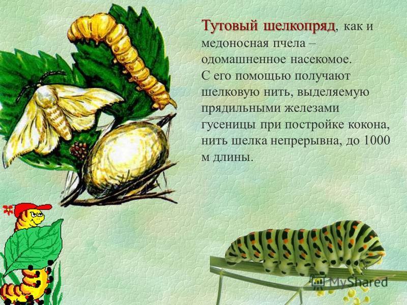 Тутовый шелкопряд Тутовый шелкопряд, как и медоносная пчела – одомашненное насекомое. С его помощью получают шелковую нить, выделяемую прядильными железами гусеницы при постройке кокона, нить шелка непрерывна, до 1000 м длины.