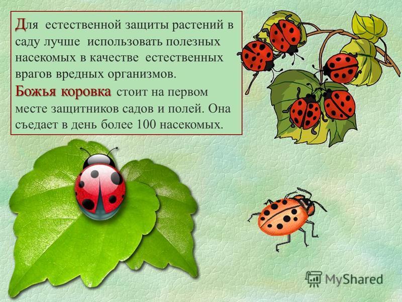Д Д ля естественной защиты растений в саду лучше использовать полезных насекомых в качестве естественных врагов вредных организмов. Божья коровка Божья коровка стоит на первом месте защитников садов и полей. Она съедает в день более 100 насекомых.