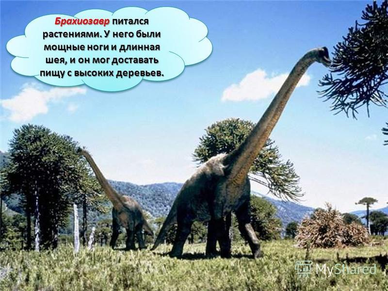 Брахиозавр питался растениями. У него были мощные ноги и длинная шея, и он мог доставать пищу с высоких деревьев.