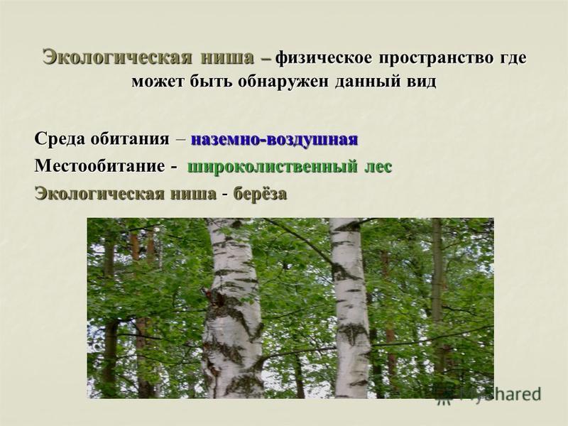 Экологическая ниша – физическое пространство где может быть обнаружен данный вид Среда обитания – наземно-воздушная Местообитание - широколиственный лес Экологическая ниша - берёза