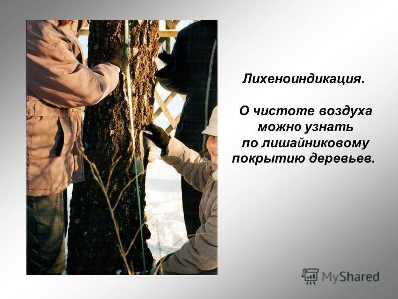 Лихеноиндикация. О чистоте воздуха можно узнать по лишайниковому покрытию деревьев.