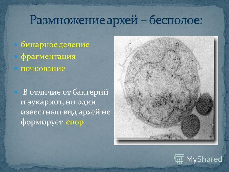 бинарное деление фрагментация почкование В отличие от бактерий и эукариот, ни один известный вид архей не формирует спор