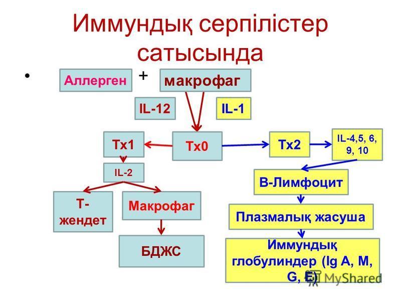 Иммундық серпілістер сатысында + IL-12IL-1 Тх0 Тх1Тх2 Т- жендет Макрофаг БДЖС В-Лимфоцит Плазмалық жасуша Иммундық глобулиндер (Ig A, M, G, E) IL-4,5, 6, 9, 10 IL-2 Аллерген макрофаг