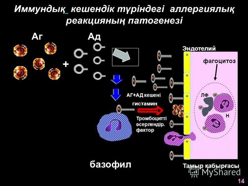 Иммундық кешендік түріндегі аллергиялық реакцияның патогенезі ЛФ АгАд + АГ+АД кешені базофил Эндотелий гистамин Тромбоцитті әсерлендір. фактор Н Тамыр қабырғасы 14 фагоцитоз