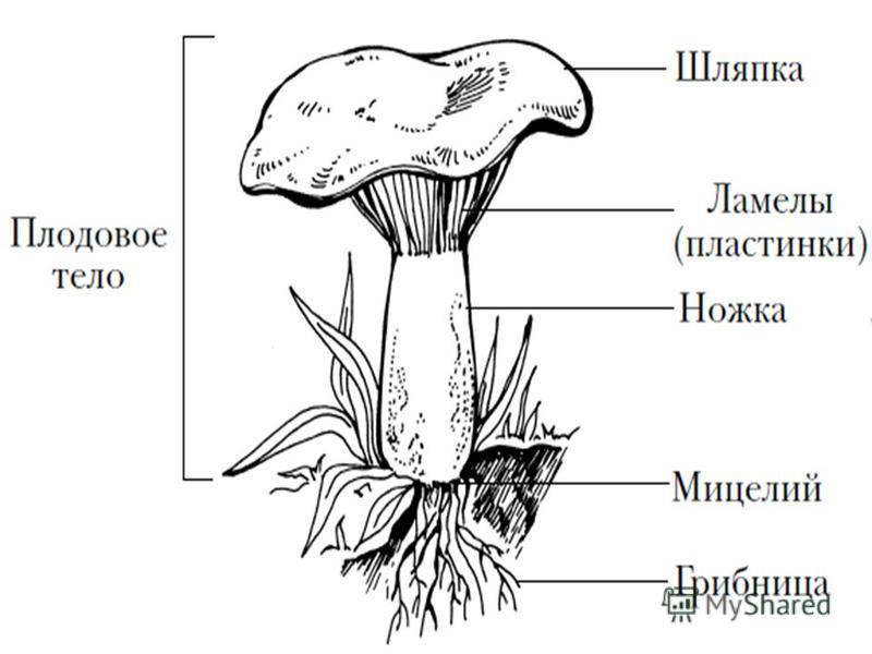 Ламела у грибов