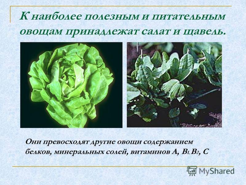 К наиболее полезным и питательным овощам принадлежат салат и щавель. Они превосходят другие овощи содержанием белков, минеральных солей, витаминов А, В 1, В 2, С