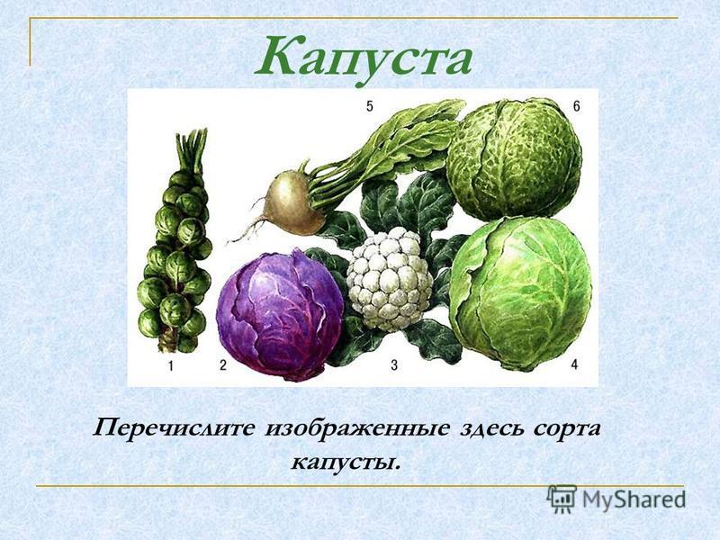 Перечислите изображенные здесь сорта капусты. Капуста