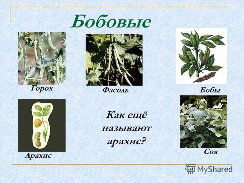 Бобовые Горох Фасоль Бобы Арахис Соя Как ещё называют арахис?