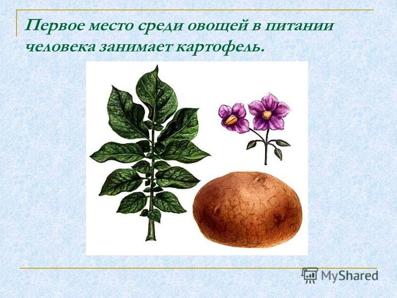 Первое место среди овощей в питании человека занимает картофель.