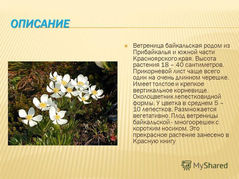ОПИСАНИЕ Ветреница байкальская родом из Прибайкалья и южной части Красноярского края. Высота растения 18 – 40 сантиметров. Прикорневой лист чаще всего один на очень длинном черешке. Имеет толстое и крепкое вертикальное корневище. Околоцветник лепестк