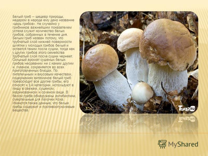 Белый гриб шедевр природы, недаром в народе ему дано название «царь грибов». Не случайно у грибников важнейшим показателем успеха служит количество белых грибов, собранных в течение дня. Белым гриб назван потому, что трубчатый слой нижней поверхности