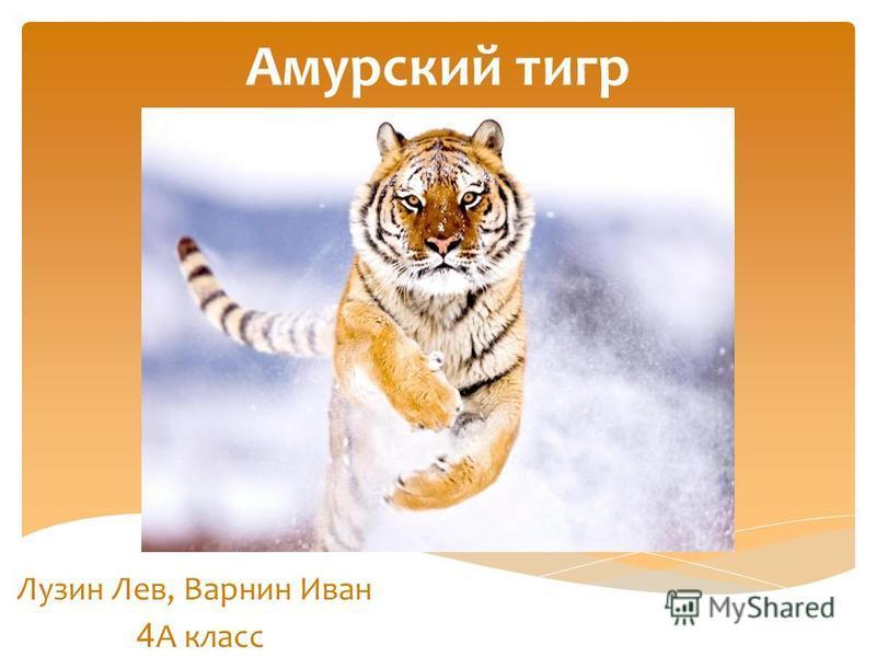 Амурский тигр Лузин Лев, Варнин Иван 4 А класс