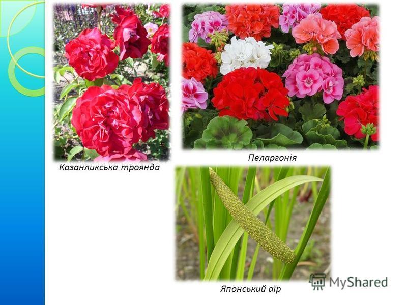 Казанликська троянда Пеларгонія Японський аїр
