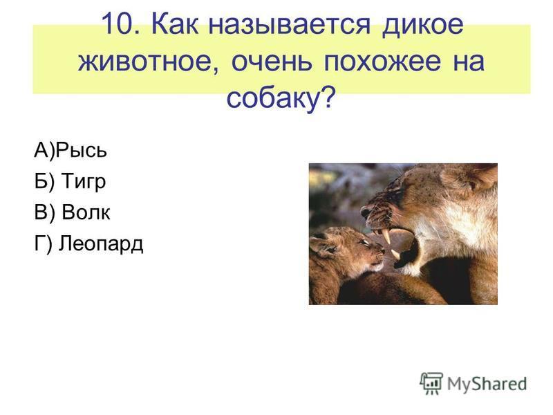10. Как называется дикое животное, очень похожее на собаку? А)Рысь Б) Тигр В) Волк Г) Леопард