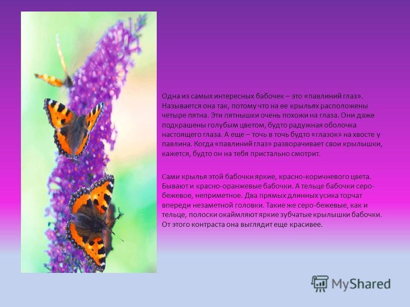 Одна из самых интересных бабочек – это «павлиний глаз». Называется она так, потому что на ее крыльях расположены четыре пятна. Эти пятнышки очень похожи на глаза. Они даже подкрашены голубым цветом, будто радужная оболочка настоящего глаза. А еще – т