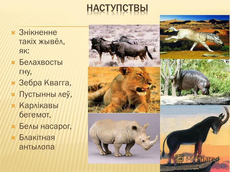 Знікненне такіх жывёл, як: Белахвосты гну, Зебра Квагга, Пустынны леў, Карлікавы бегемот, Белы насарог, Блакітная антылопа