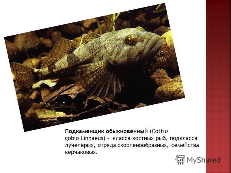 Подкаменщик обыкновенный (Cottus gobio Linnaeus) - класса костных рыб, подкласса лучепёрых, отряда скорпенообразных, семейства керчаковых.