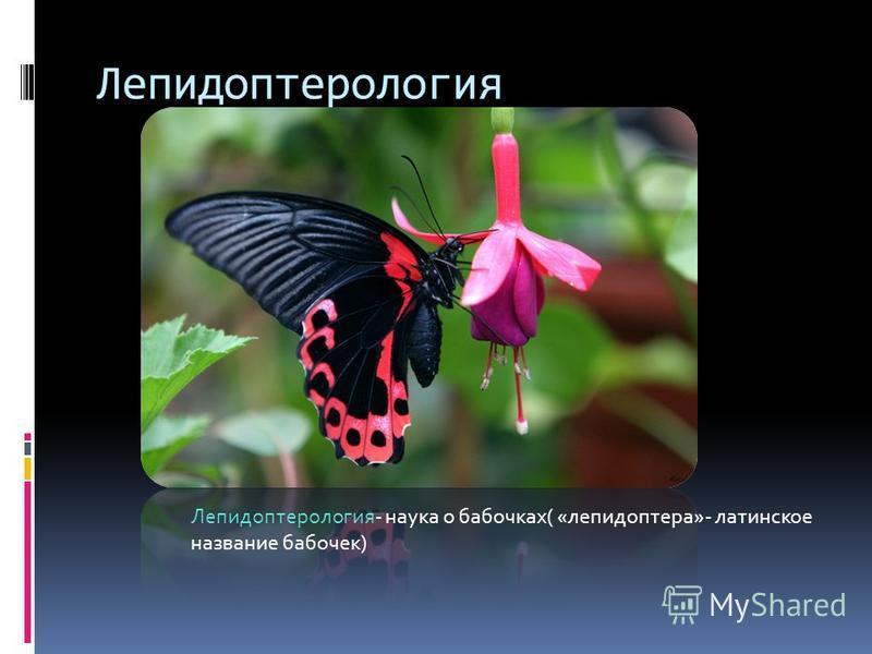 Лепидоптерология Лепидоптерология- наука о бабочках( «лепидоптера»- латинское название бабочек)