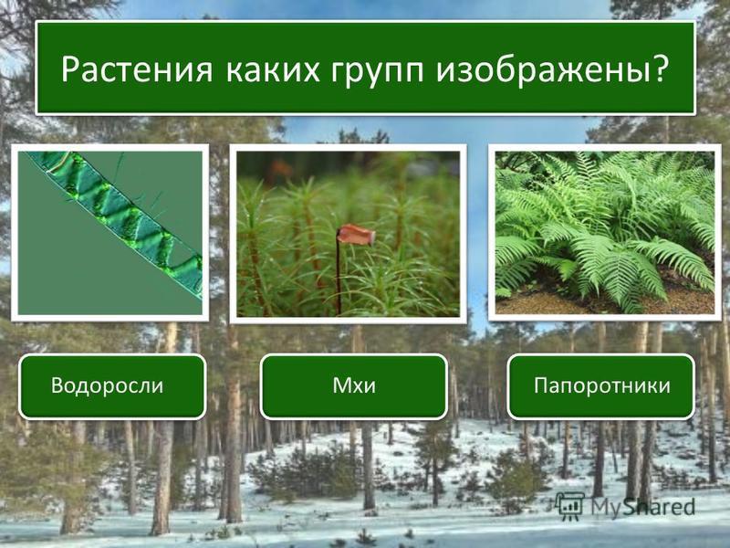 Растения каких групп изображены? Водоросли МхиПапоротники