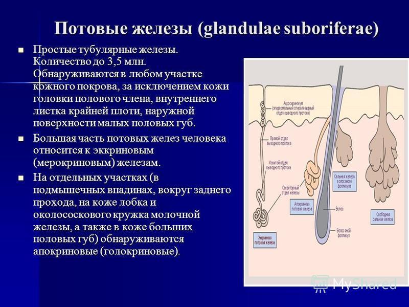 Потовые железы (glandulae suboriferae) Простые тубулярные железы. Количество до 3,5 млн. Обнаруживаются в любом участке кожного покрова, за исключением кожи головки полового члена, внутреннего листка крайней плоти, наружной поверхности малых половых