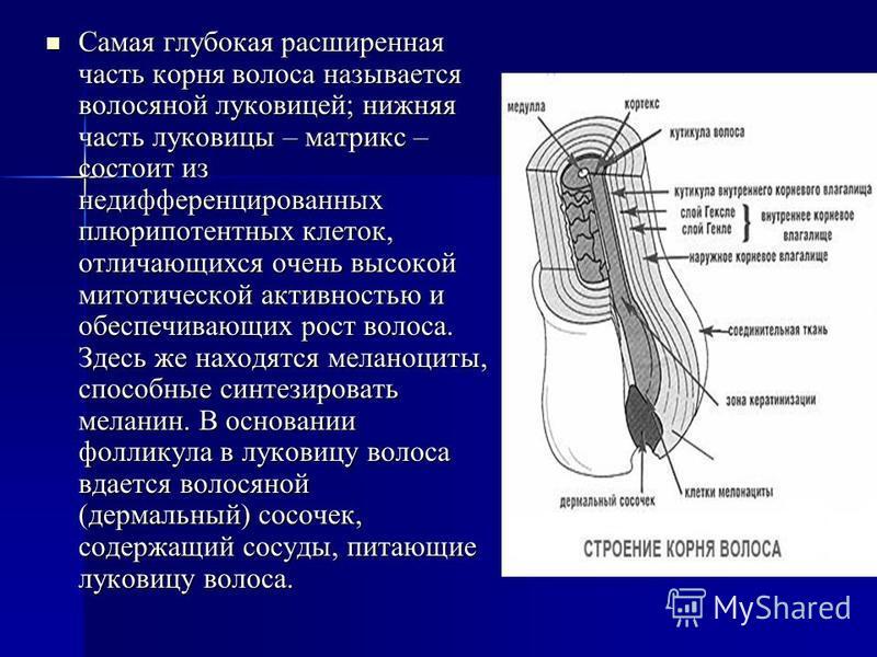 Самая глубокая расширенная часть корня волоса называется волосяной луковицей; нижняя часть луковицы – матрикс – состоит из недифференцированных плюрипотентных клеток, отличающихся очень высокой митотической активностью и обеспечивающих рост волоса. З
