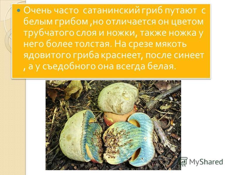 Очень часто сатанинский гриб путают с белым грибом, но отличается он цветом трубчатого слоя и ножки, также ножка у него более толстая. На срезе мякоть ядовитого гриба краснеет, после синеет, а у съедобного она всегда белая.