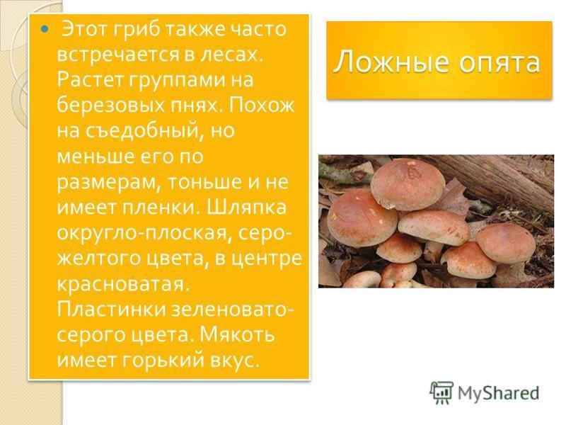 Ложные опята Этот гриб также часто встречается в лесах. Растет группами на березовых пнях. Похож на съедобный, но меньше его по размерам, тоньше и не имеет пленки. Шляпка округло - плоская, серо - желтого цвета, в центре красноватая. Пластинки зелено