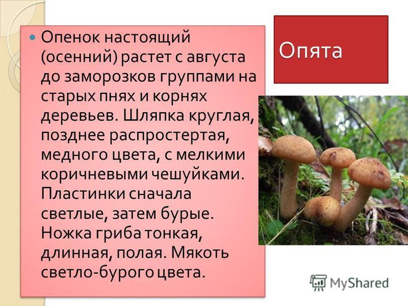 Опята Опенок настоящий ( осенний ) растет с августа до заморозков группами на старых пнях и корнях деревьев. Шляпка круглая, позднее распростертая, медного цвета, с мелкими коричневыми чешуйками. Пластинки сначала светлые, затем бурые. Ножка гриба то