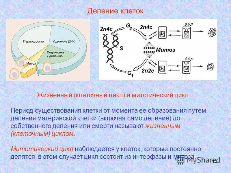 12 Деление клеток Жизненный (клеточный цикл) и митотический цикл. Период существования клетки от момента ее образования путем деления материнской клетки (включая само деление) до собственного деления или смерти называют жизненным (клеточным) циклом.