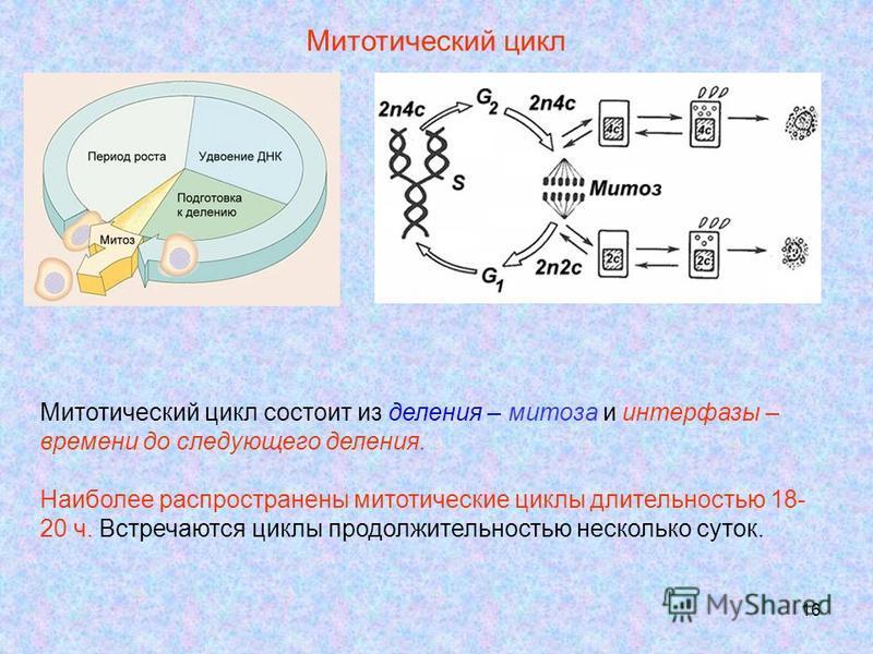 16 Митотический цикл Митотический цикл состоит из деления – митоза и интерфазы – времени до следующего деления. Наиболее распространены митотические циклы длительностью 18- 20 ч. Встречаются циклы продолжительностью несколько суток.