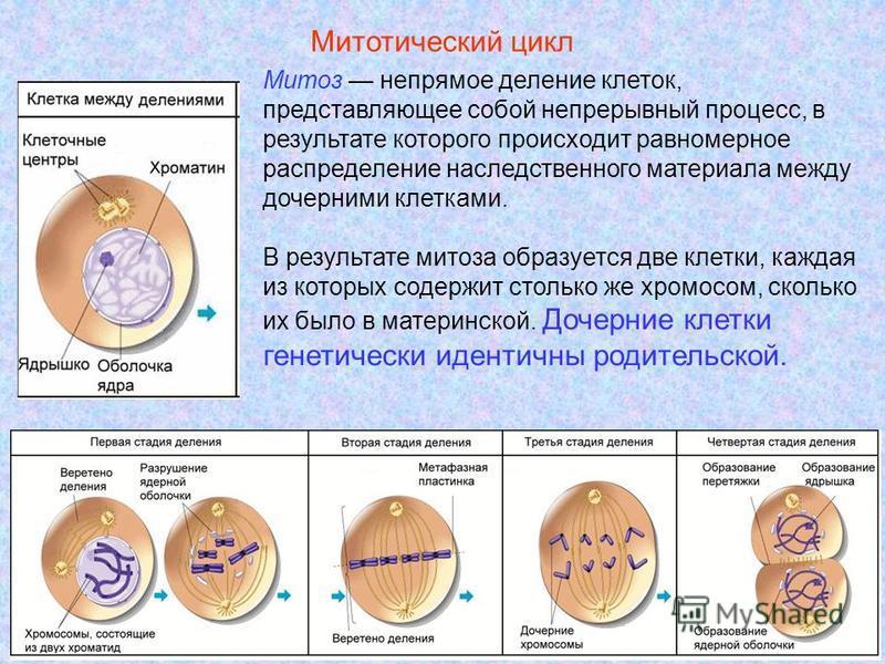 20 Митоз непрямое деление клеток, представляющее собой непрерывный процесс, в результате которого происходит равномерное распределение наследственного материала между дочерними клетками. В результате митоза образуется две клетки, каждая из которых со