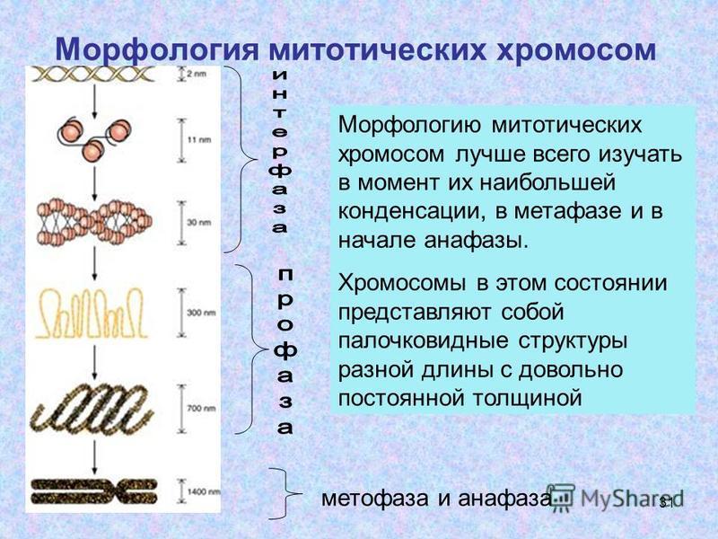 31 Морфология митотических хромосом метафаза и анафаза Морфологию митотических хромосом лучше всего изучать в момент их наибольшей конденсации, в метафазе и в начале анафазы. Хромосомы в этом состоянии представляют собой палочковидные структуры разно