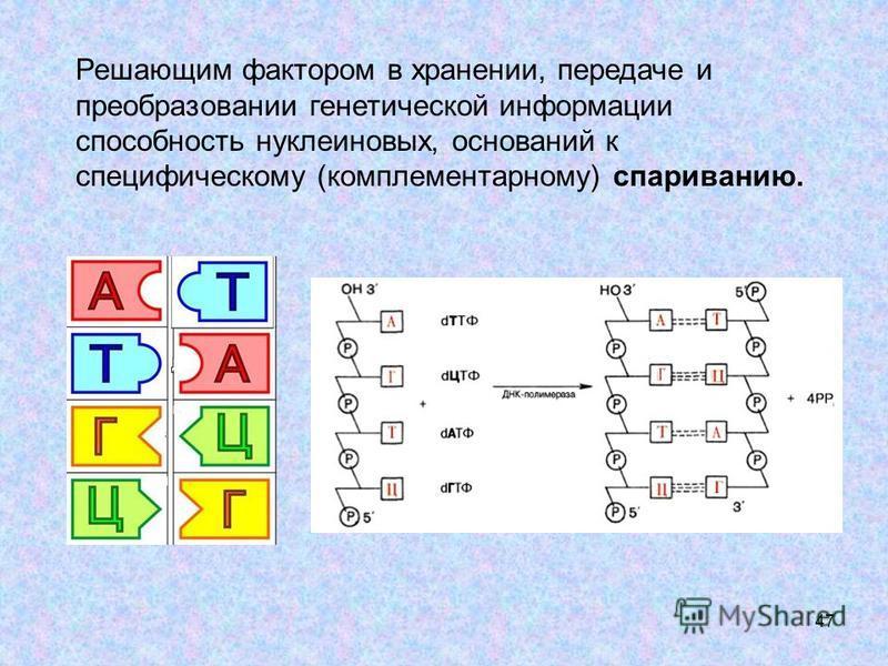 47 Решающим фактором в хранении, передаче и преобразовании генетической информации способность нуклеиновых, оснований к специфическому (комплементарному) спариванию.