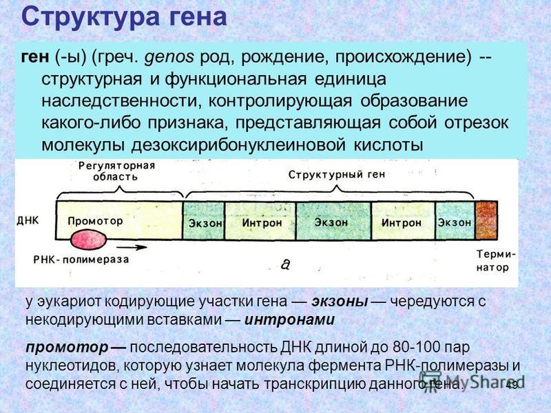 49 Структура гена ген (-ы) (греч. genos род, рождение, происхождение) -- структурная и функциональная единица наследственности, контролирующая образование какого-либо признака, представляющая собой отрезок молекулы дезоксирибонуклеиновой кислоты у эу