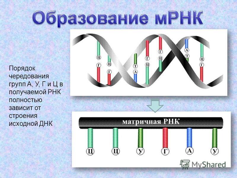 51 Порядок чередования групп А, У, Г и Ц в получаемой РНК полностью зависит от строения исходной ДНК