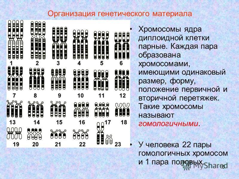6 Организация генетического материала Хромосомы ядра диплоидной клетки парные. Каждая пара образована хромосомами, имеющими одинаковый размер, форму, положение первичной и вторичной перетяжек. Такие хромосомы называют гомологичными. У человека 22 пар