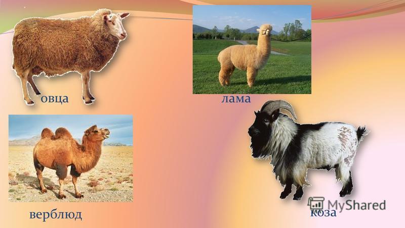 овца верблюд коза лама