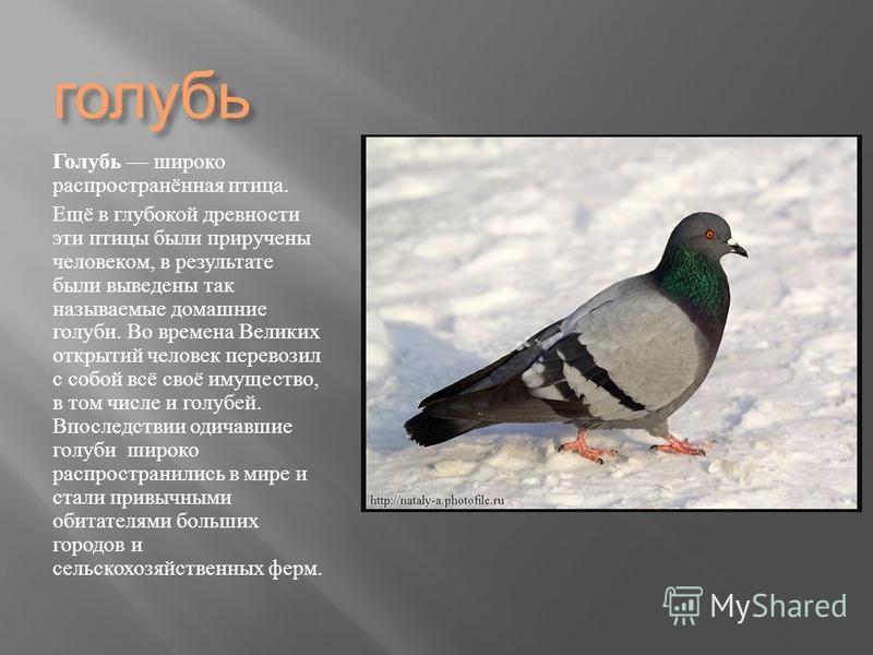 голубь Голубь широко распространённая птица. Ещё в глубокой древности эти птицы были приручены человеком, в результате были выведены так называемые домашние голуби. Во времена Великих открытий человек перевозил с собой всё своё имущество, в том числе