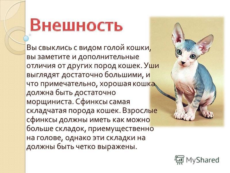 Вы свыклись с видом голой кошки, вы заметите и дополнительные отличия от других пород кошек. Уши выглядят достаточно большими, и что примечательно, хорошая кошка должна быть достаточно морщиниста. Сфинксы самая складчатая порода кошек. Взрослые сфинк