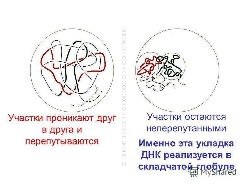 Участки остаются не перепутанными Именно эта укладка ДНК реализуется в складчатой глобуле Участки проникают друг в друга и перепутываются